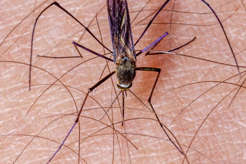 Controle de Mosquitos - São Paulo   Dedetizadora em SP