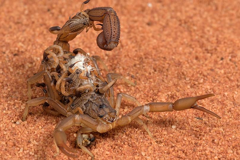 Dedetização de Escorpiões - São Paulo   Dedetizadora em SP