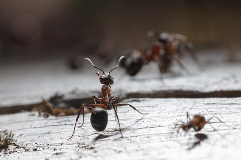 Dedetização de Formigas - São Paulo   Dedetizadora em SP